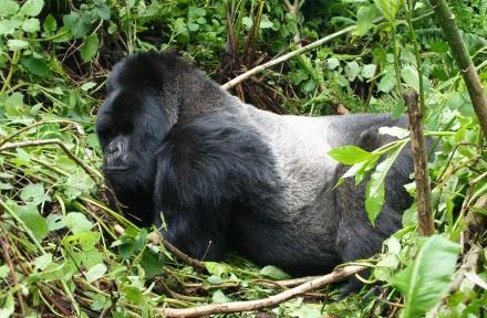 male mountain gorilla